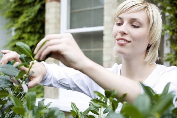pruning-choisya
